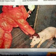 Jungschweine Notschlachtung
